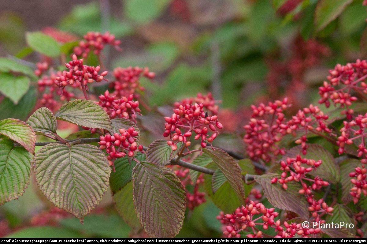 Kalina japońska Cascade - Viburnum plicatum Cascade