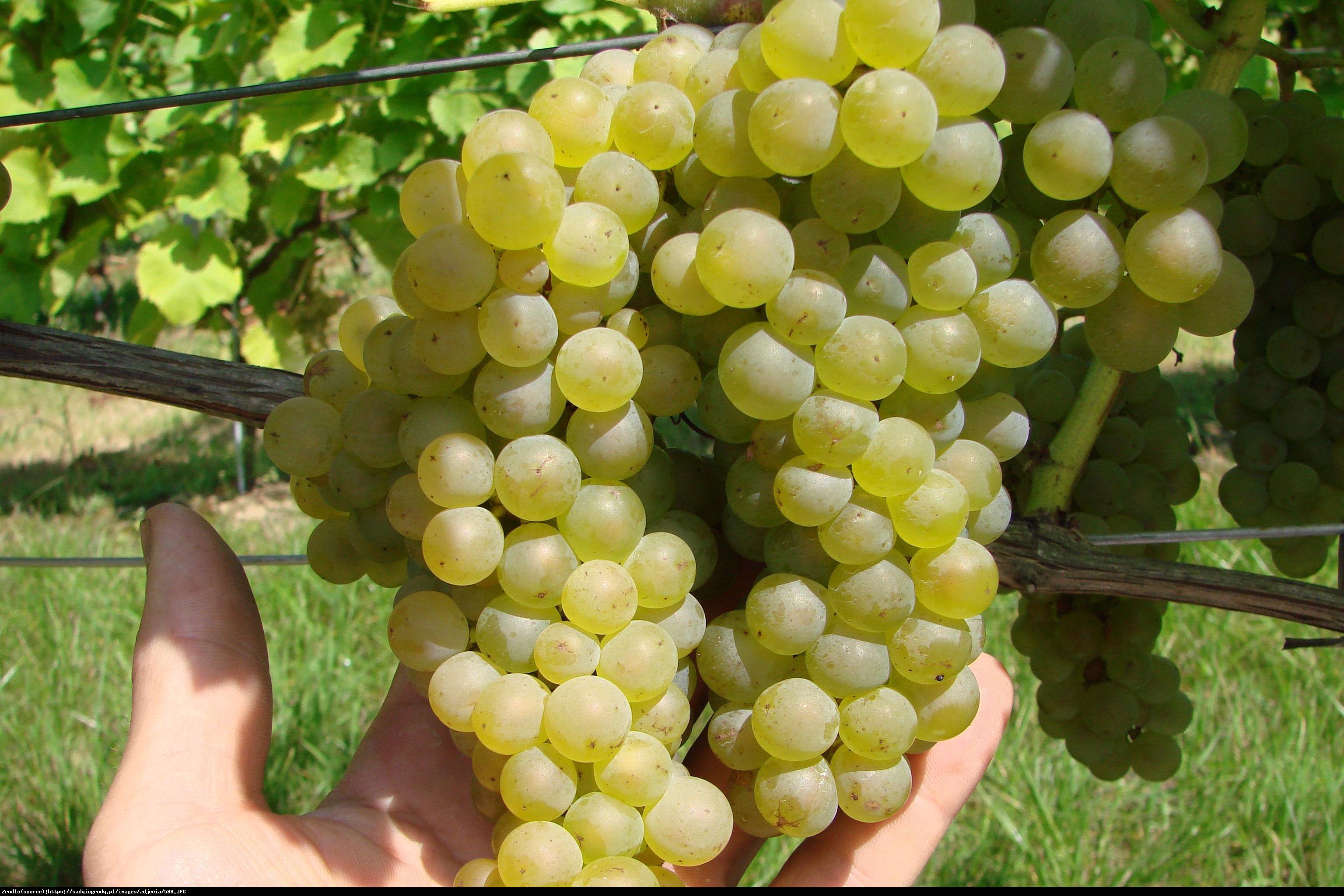 winorośl Bianka - Vitis Bianca