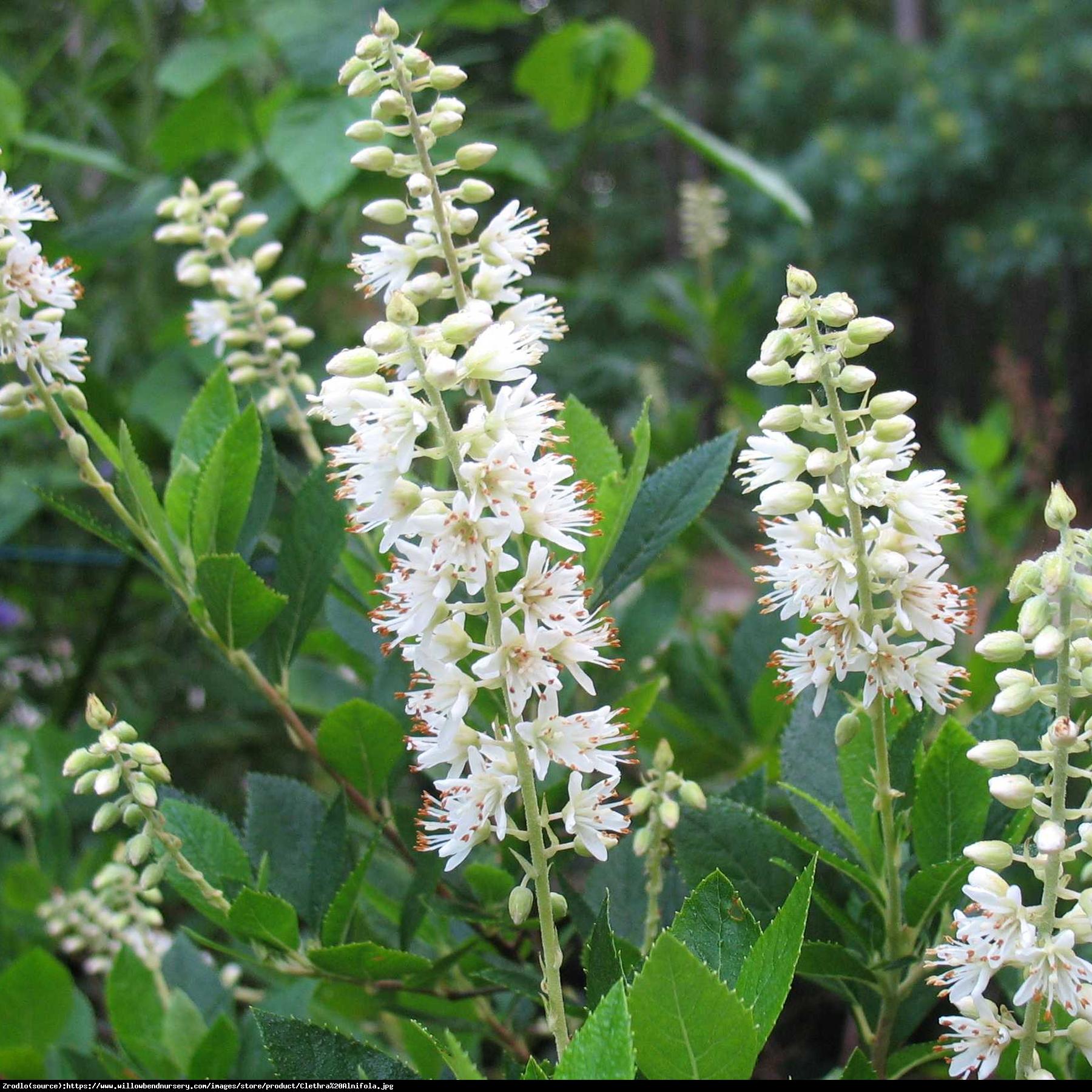 Orszelina Biała - Clethra alnifolia
