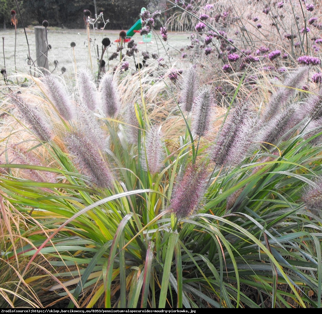 Trawa Rozplenica japońska Moudry - Pennisetum alopecuroides Moudry