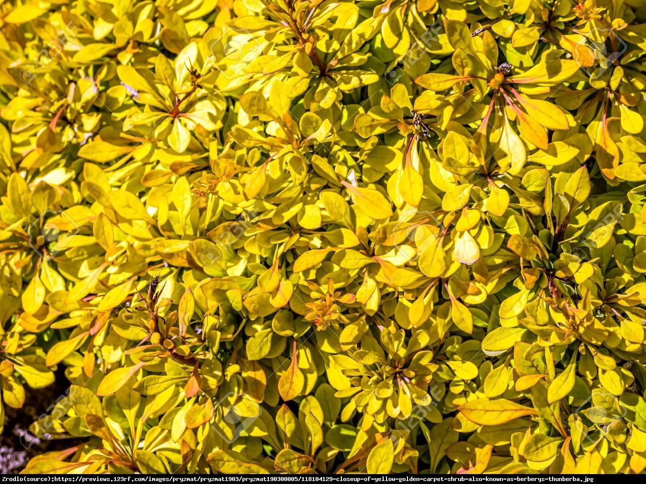 Berberys Thunberga Golden Carpet - Berberis thunbergii Golden Carpet