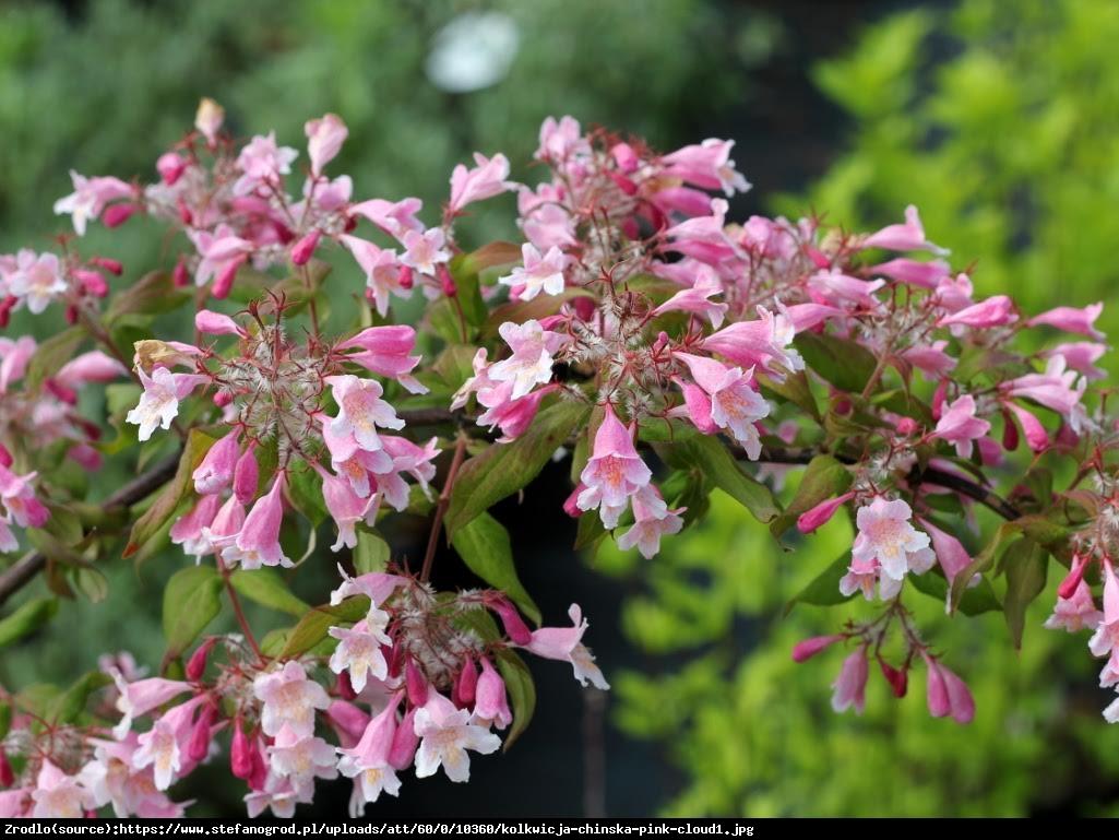 Kolkwicja chińska Maradco - Kolkwitzia amabilis Maradco