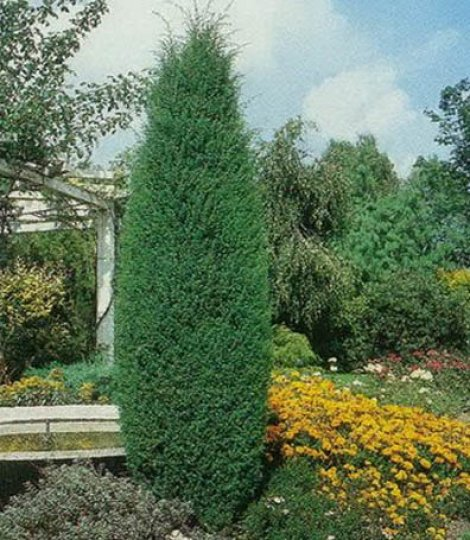 ja owiec pospolity hibernica juniperus communis hibernica. Black Bedroom Furniture Sets. Home Design Ideas
