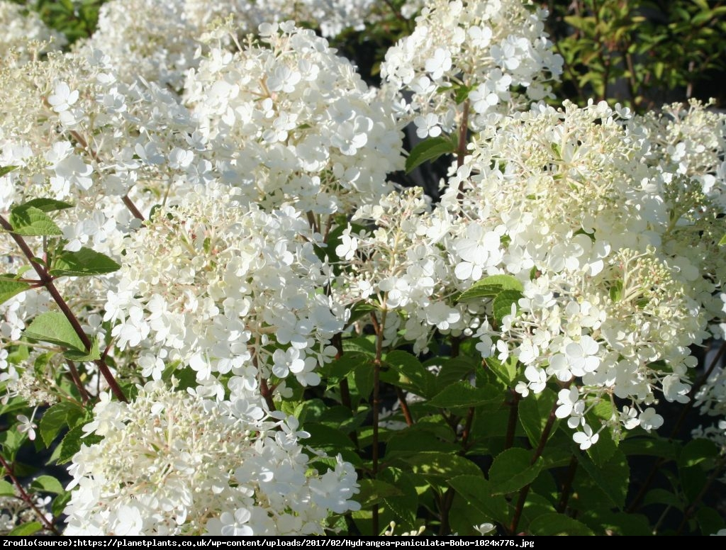 Hortensja dębolistna Ice Crystal - Hydrangea quercifolia Ice Crystal