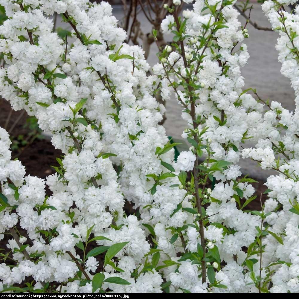 Tawuła nippońska Snowmound - Spiraea nipponica Snowmound
