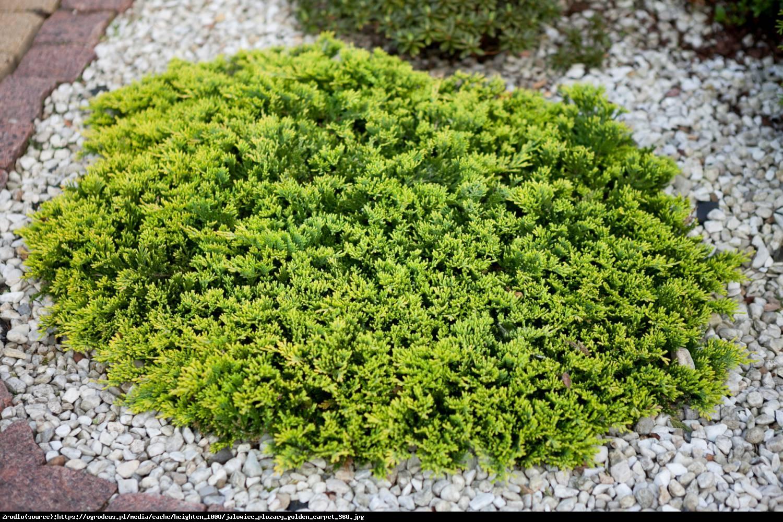 Jałowiec płożący Golden Carpet - Juniperus horizontalis Golden Carpet