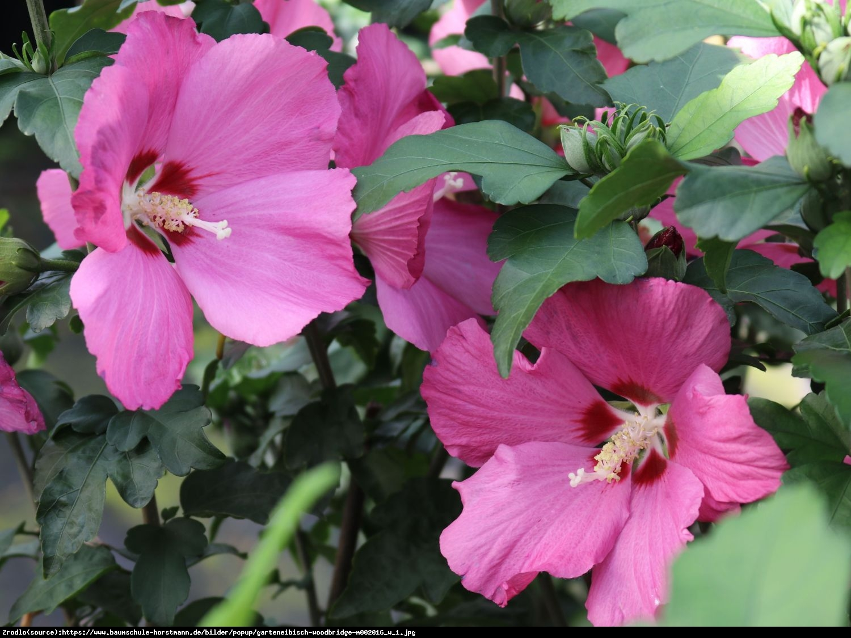 Hibiscus syryjski Ketmia syryjska WOODBRIDGE - Hibiscus syriacus WOODBRIDGE