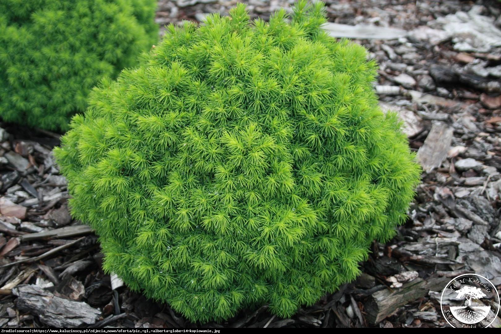 Świerk biały Alberta Globe - Picea glauca Alberta Globe