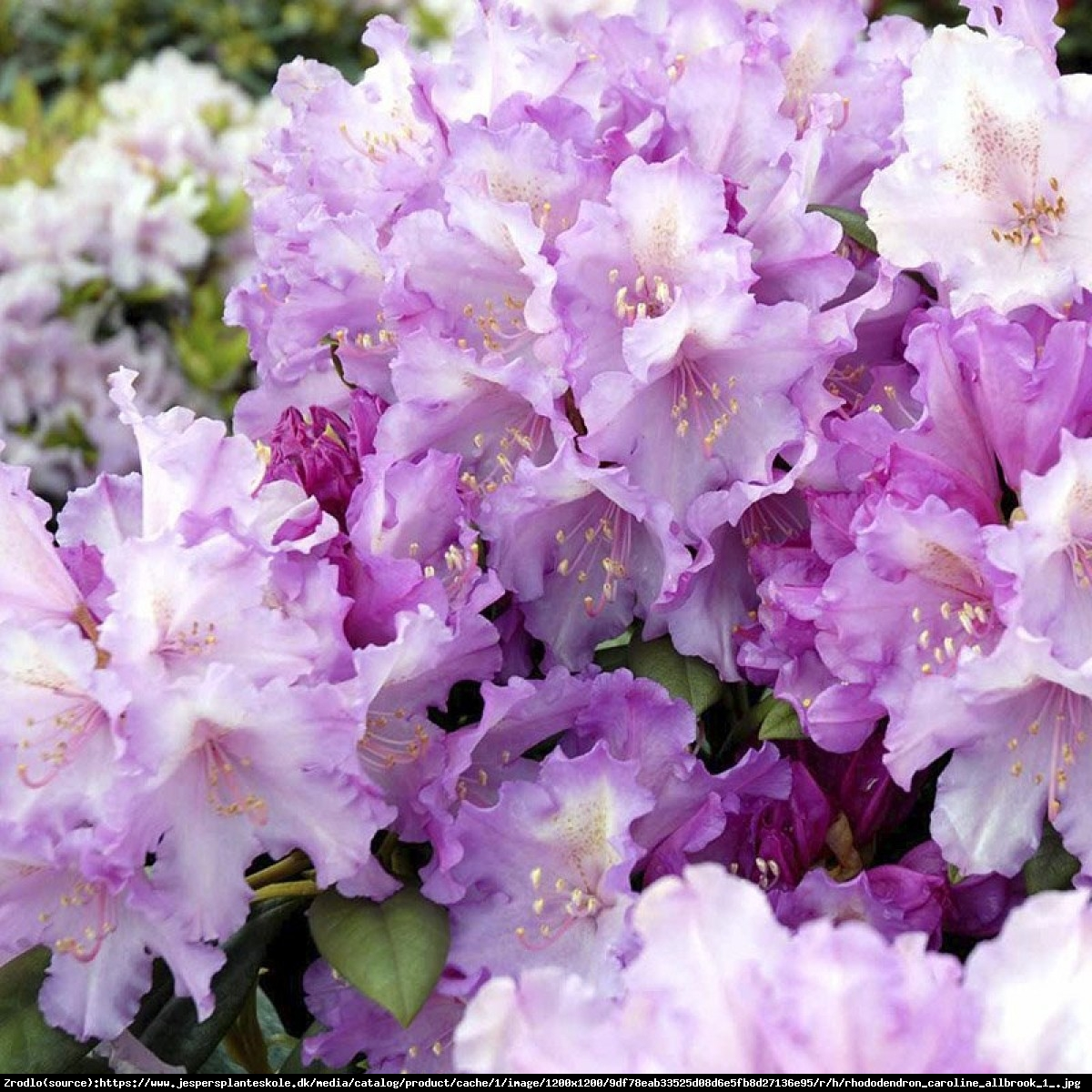 Różanecznik Caroline Allbrook - Rhododendron Caroline Allbrook