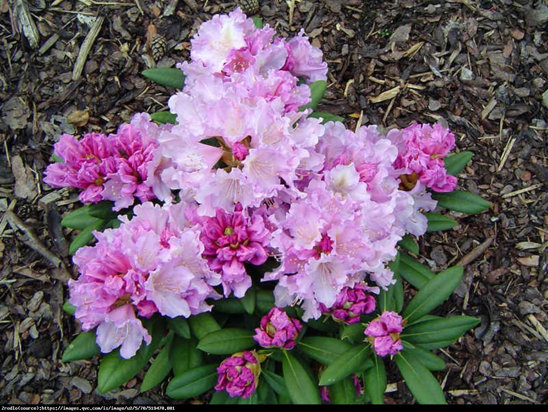 Różanecznik Nova Zembla - Rhododendron Nova Zembla