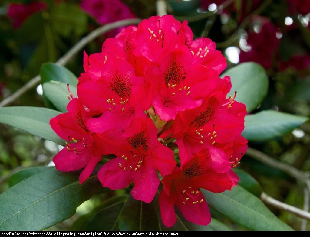 Różanecznik Dotella - Rhododendron Dotella
