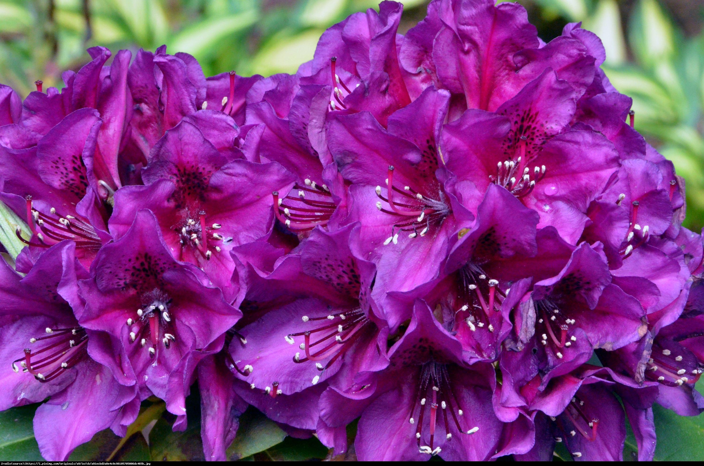 Różanecznik Polarnacht - Rhododendron Polarnacht