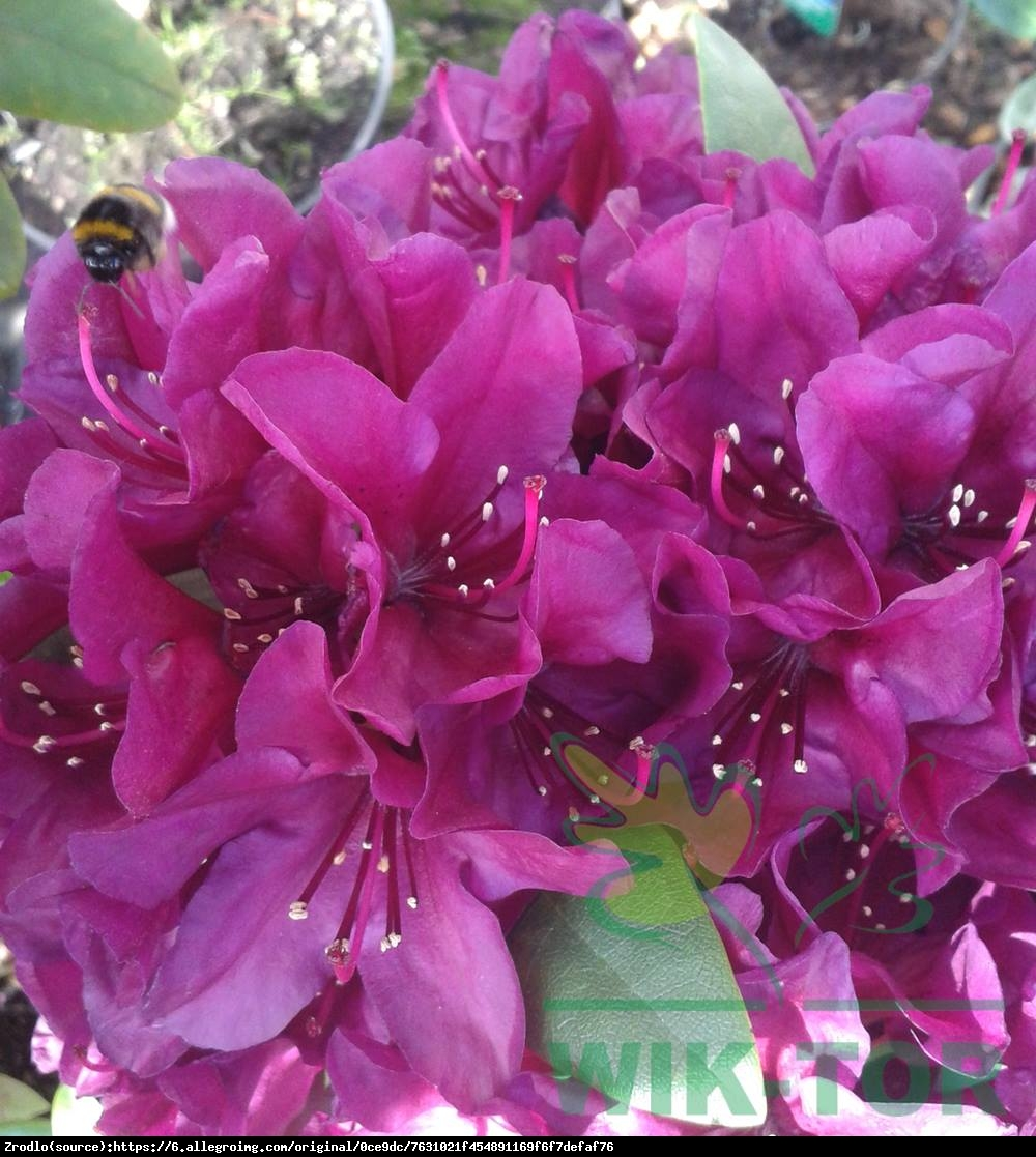 Różanecznik Kali - Rhododendron Kali