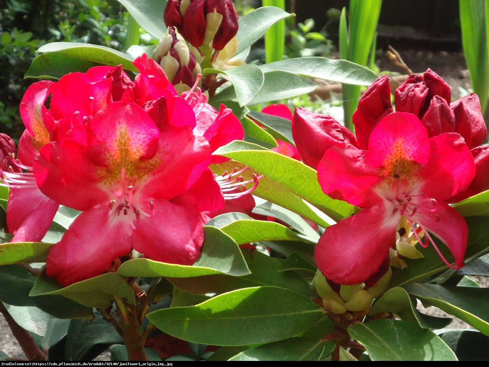 Różanecznik Junifeuer - Rhododendron Junifeuer
