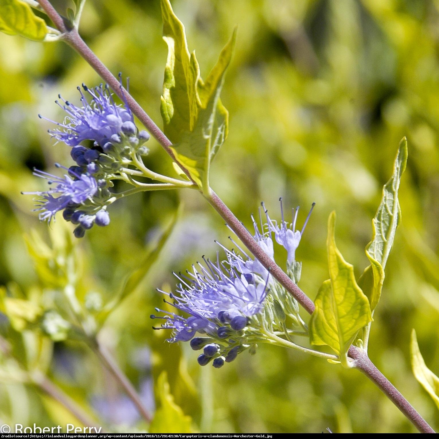 Barbula klandońska Worcester Gold - Caryopteris clandonensis Worcester Gold