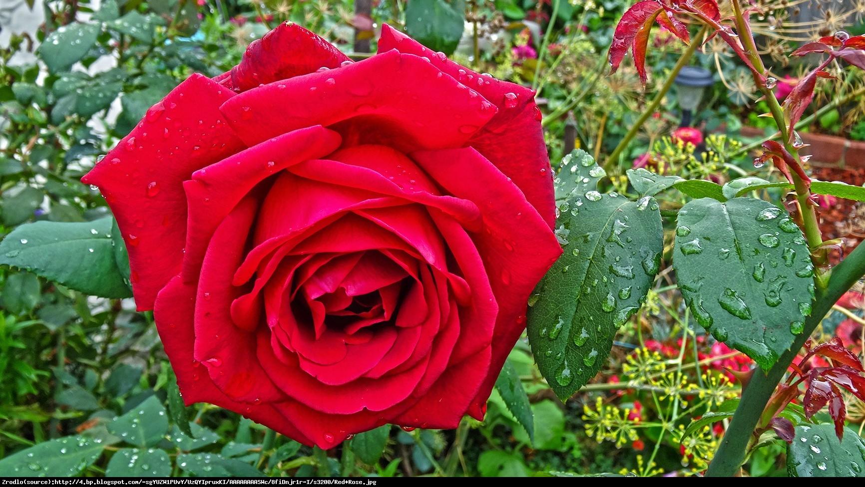 Róża BURGUND Korgund - Rosa BURGUND Korgund