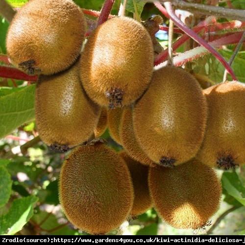 Mini Kiwi Aktinidia Zakarpacie - duży owoc, samopylna - Actinidia hybr. Zakarpacie