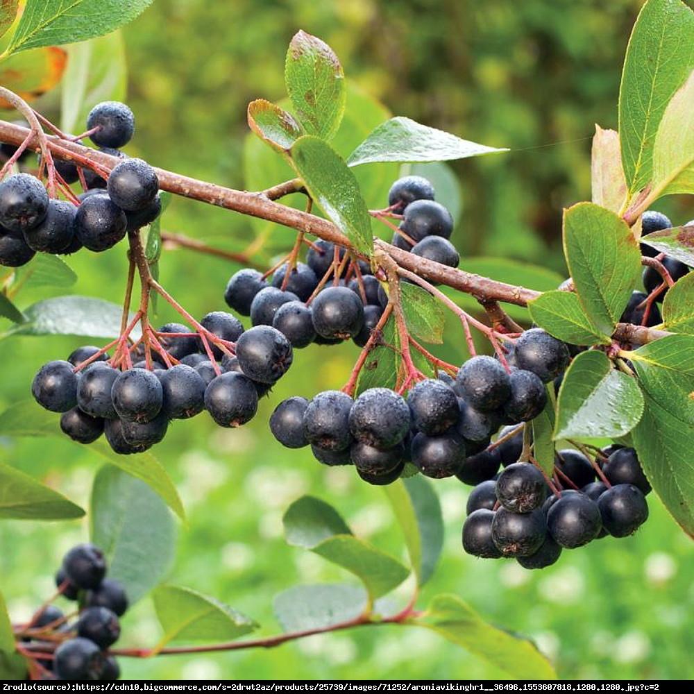 Aronia Viking - Aronia x prunifolia Viking