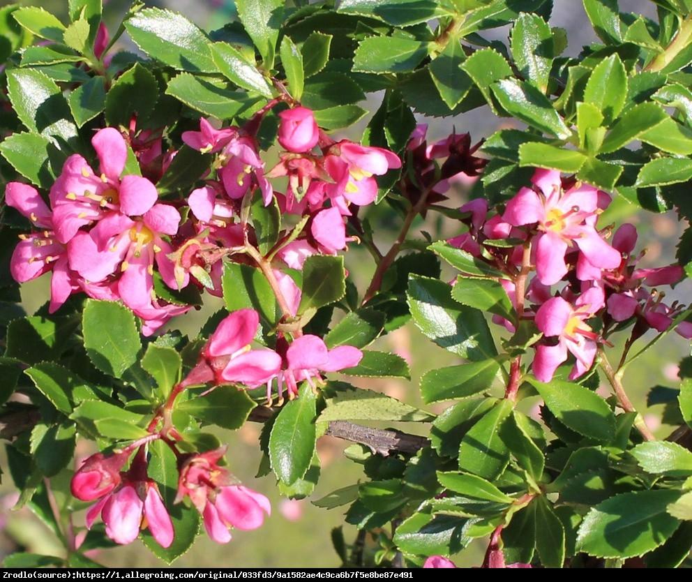 Eskalonia Darts Rosy - ESCALLONIA Darts Rosy