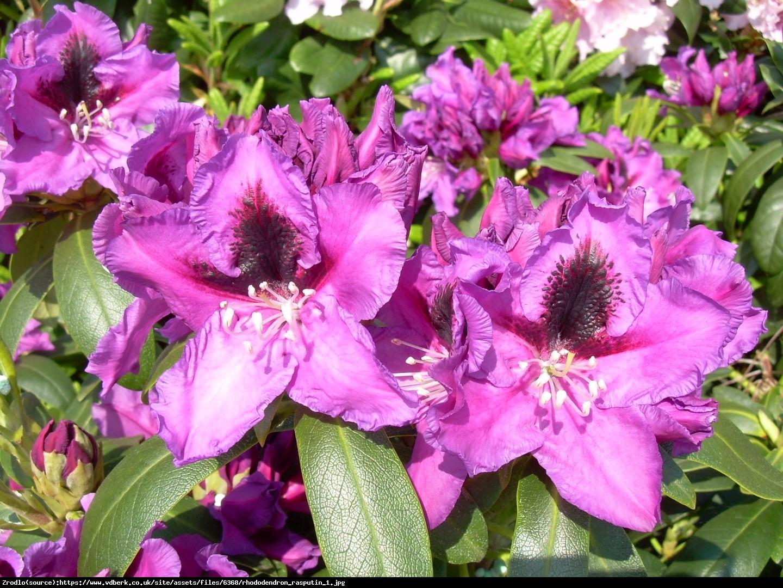 Różanecznik  Rasputin  - Rhododendron  Rasputin