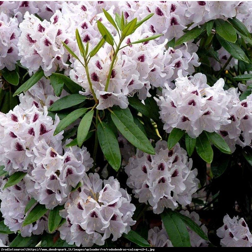 Różanecznik  Calsap  - Rhododendron  Calsap