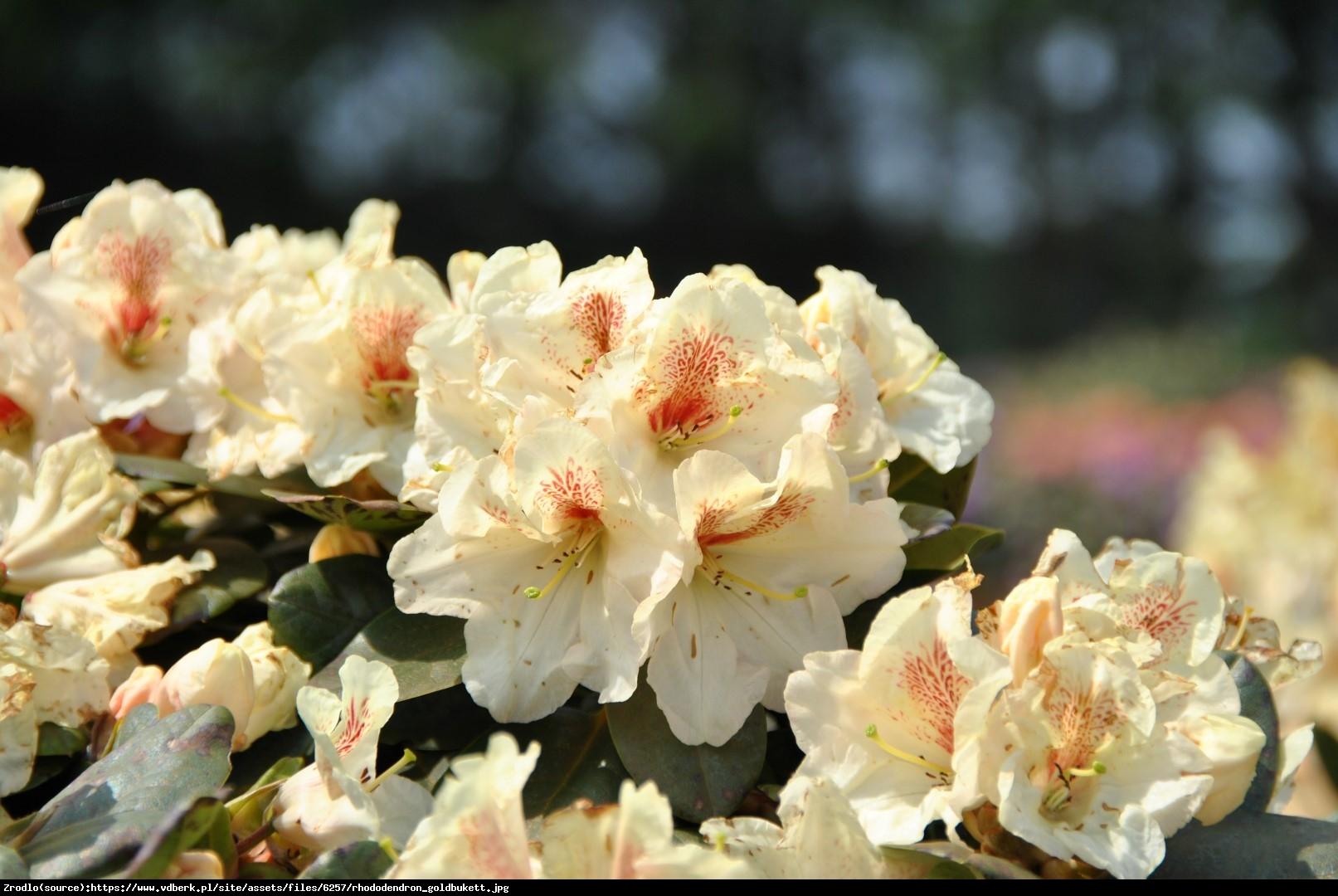Różanecznik  Goldbukett  - Rhododendron  Goldbukett