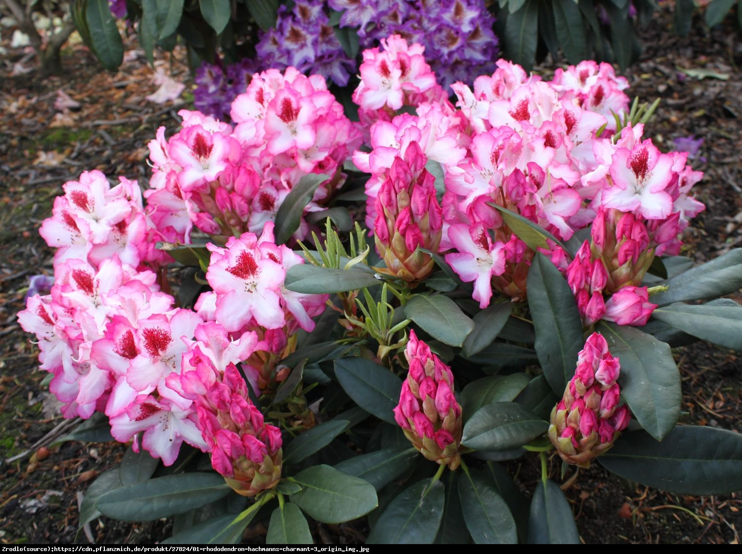 Różanecznik  Hachmanns Charmant  - Rhododendron  Hachmanns Charmant