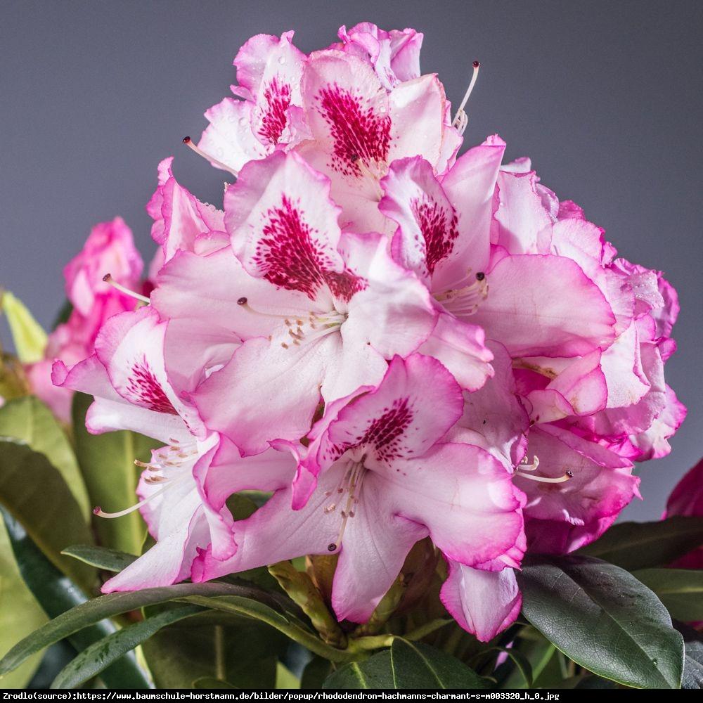 Różanecznik  Hachmanns Charmant  - Rhododendron  Hachmanns Charmant