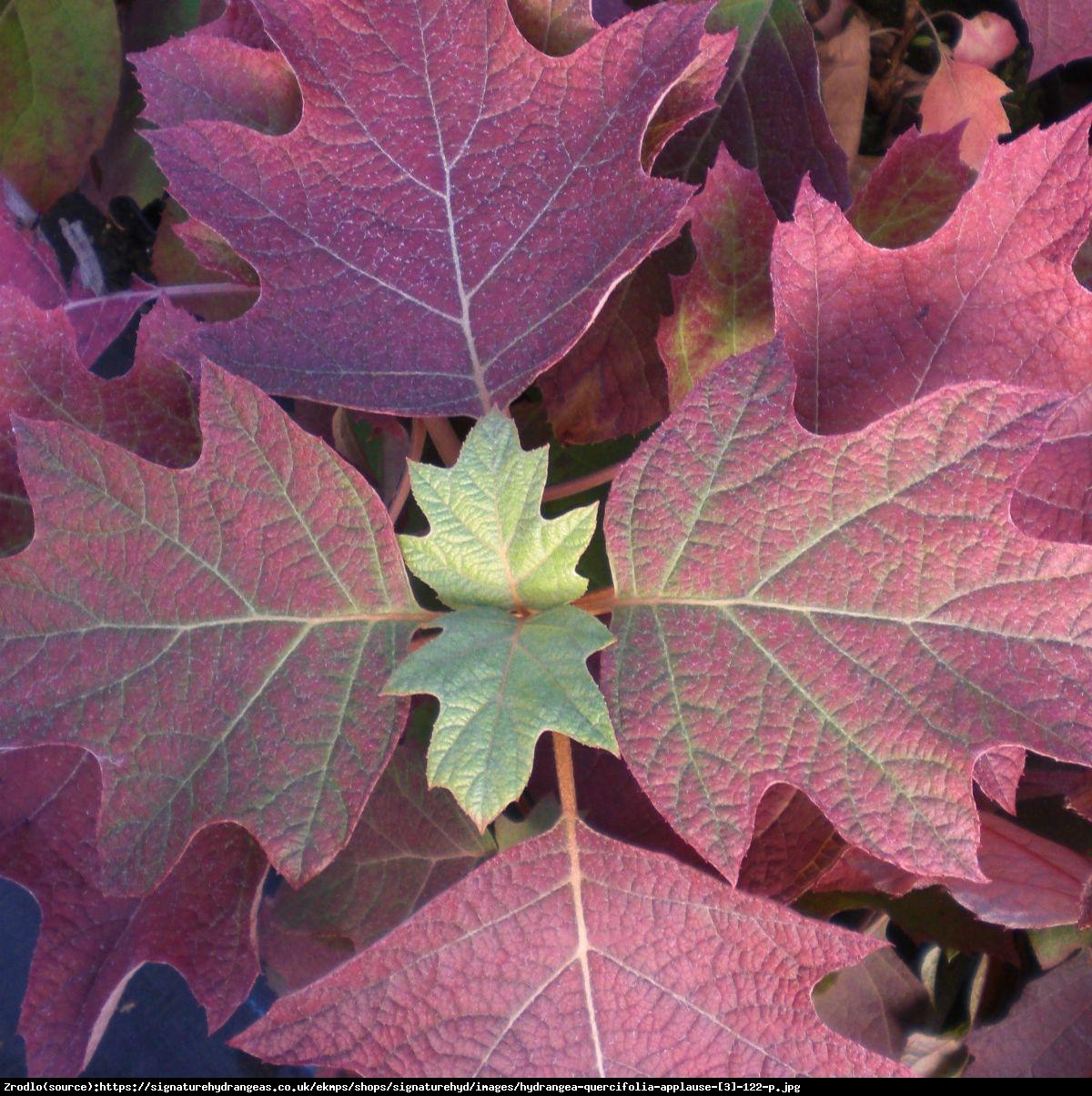 Hortensja dębolistna Applause - Hydrangea quercifolia Applause