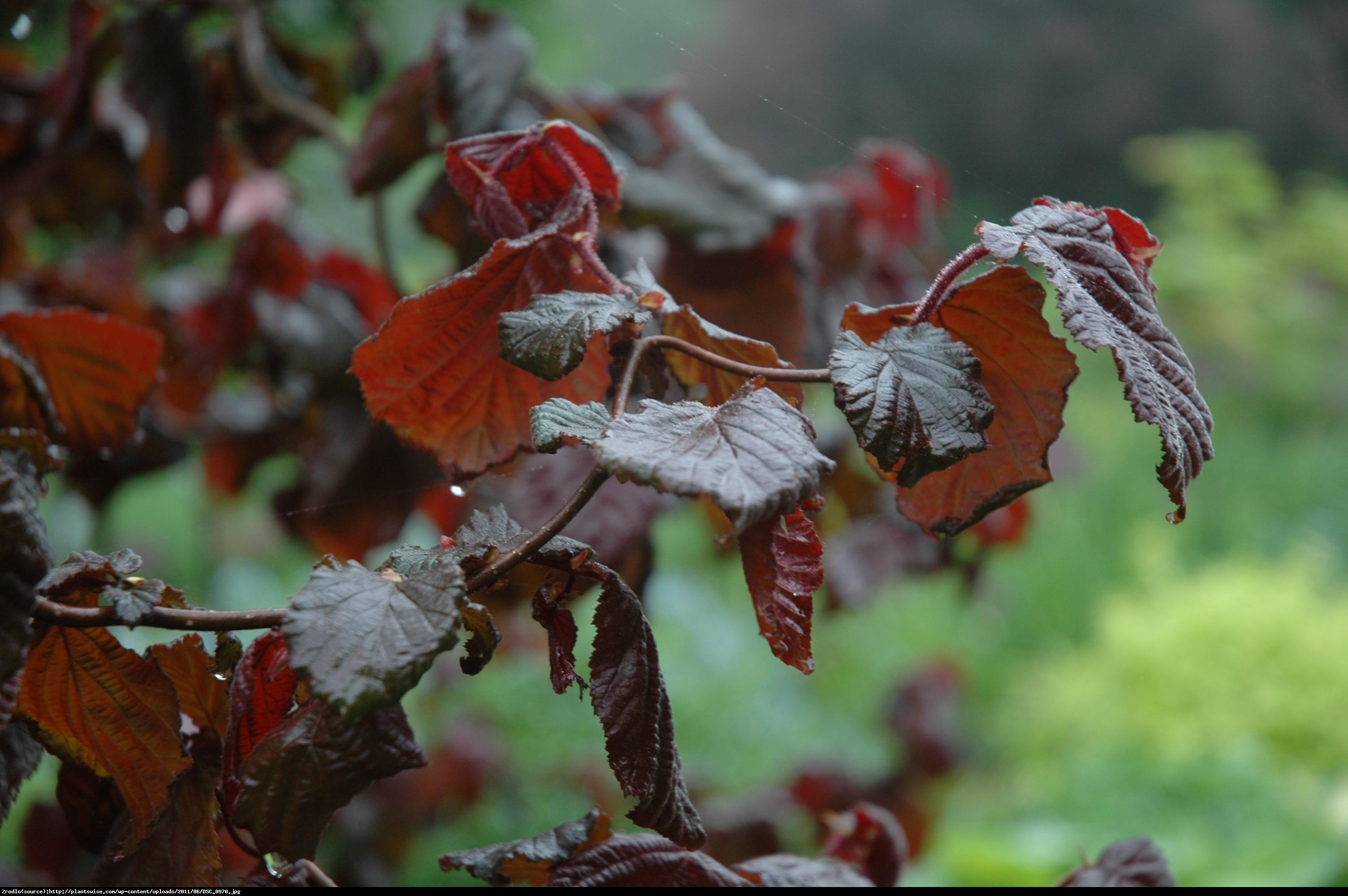 leszczyna  Red Majestic  - Corylus  Red Majestic