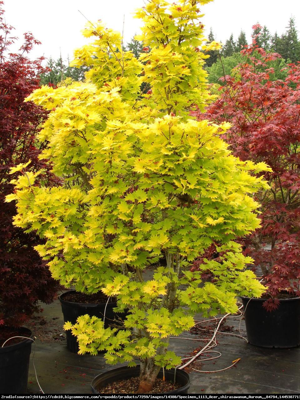 Klon japoński - Shirasawy Aureum - Acer palmatum shirasawanum Aureum