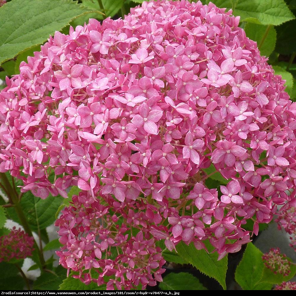 hortensja drzewiasta pink annabelle hydrangea