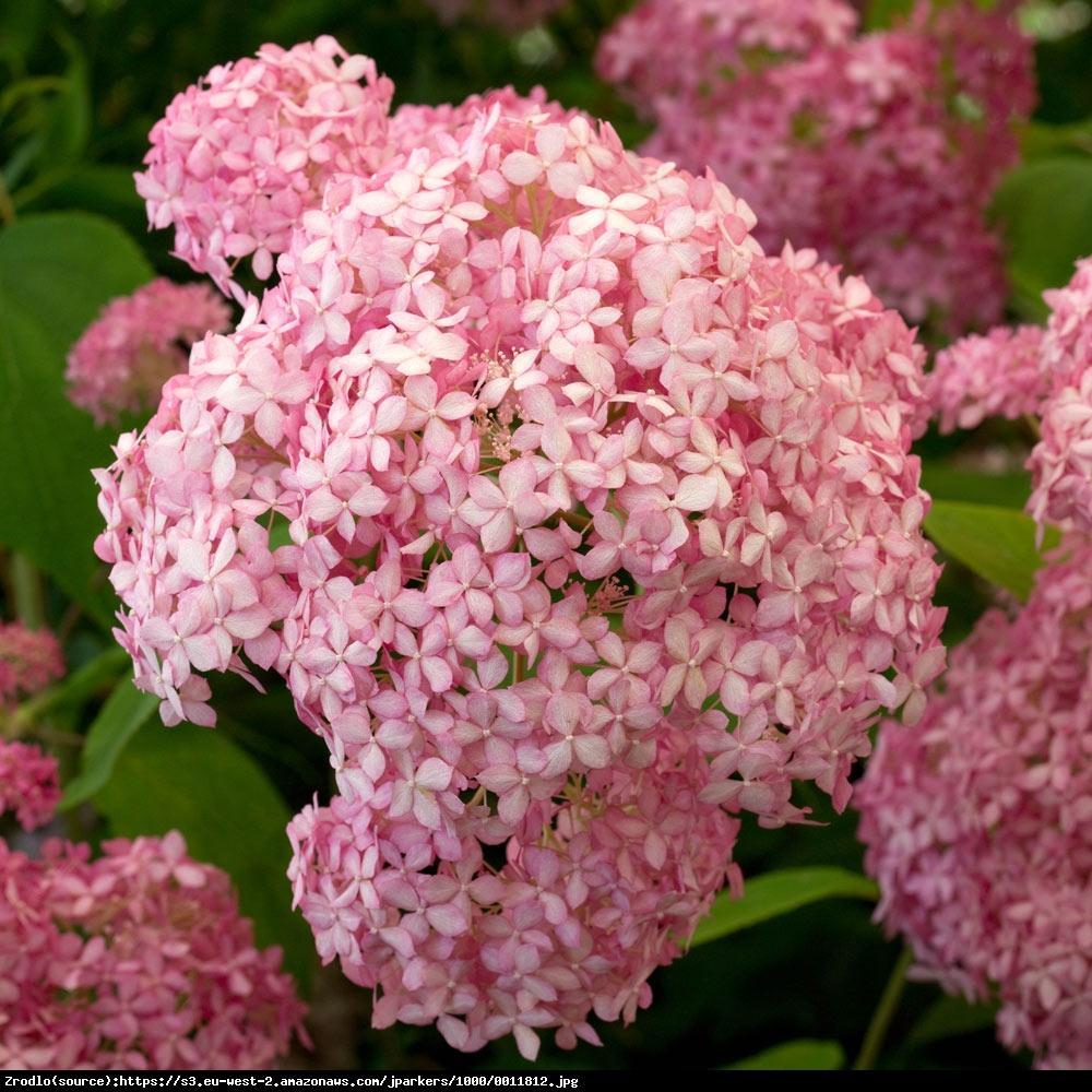 hortensja drzewiasta pink annabelle hydrangea arborescens pink annabelle. Black Bedroom Furniture Sets. Home Design Ideas