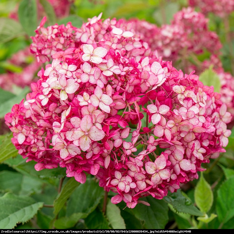 Hortensja drzewiasta  Pink Annabelle   - Hydrangea arborescens  Pink Annabelle