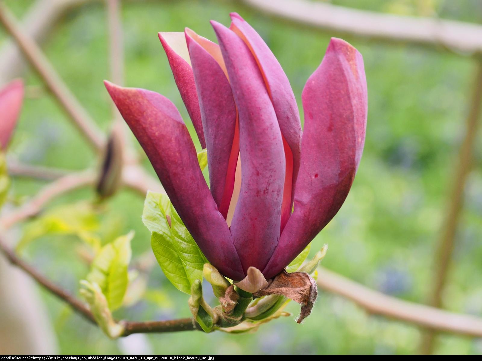 Magnolia Black Beauty - Magnolia Black Beauty