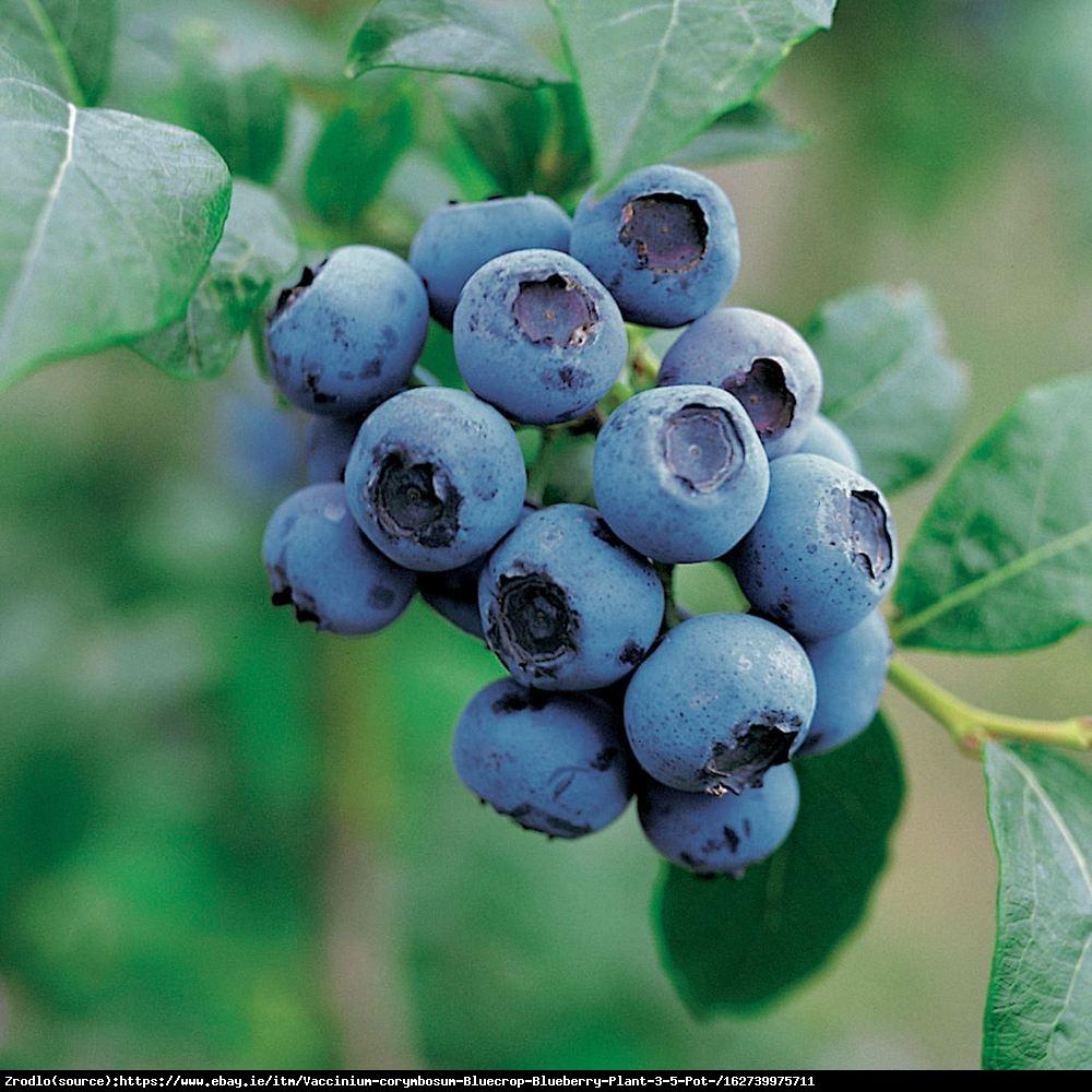 Borówka amerykańska Bluecrop 3l - Vaccinium corymbosum