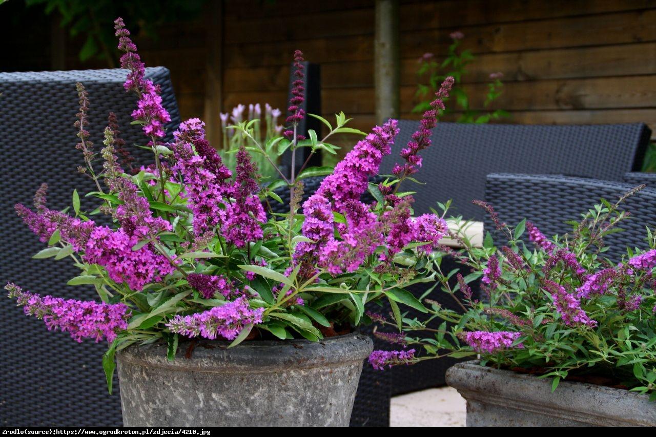 Budleja Buzz violet - Buddleja Buzz violet