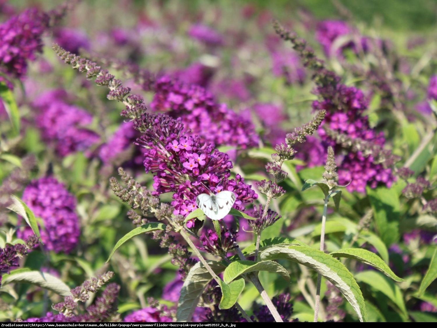 Budleja Buzz pink purple - Buddleja buzz pink purple