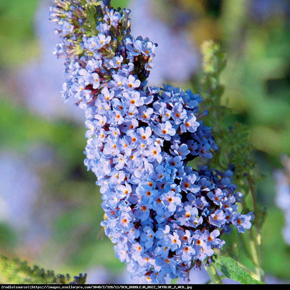Budleja Buzz sky blue - Buddleia Buzz sky blue
