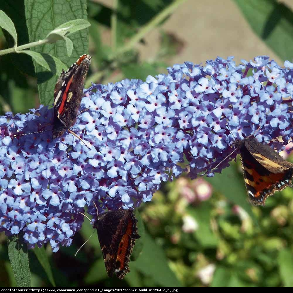 Budleja Buzz sky blue - Buddleia Buzz sky blue