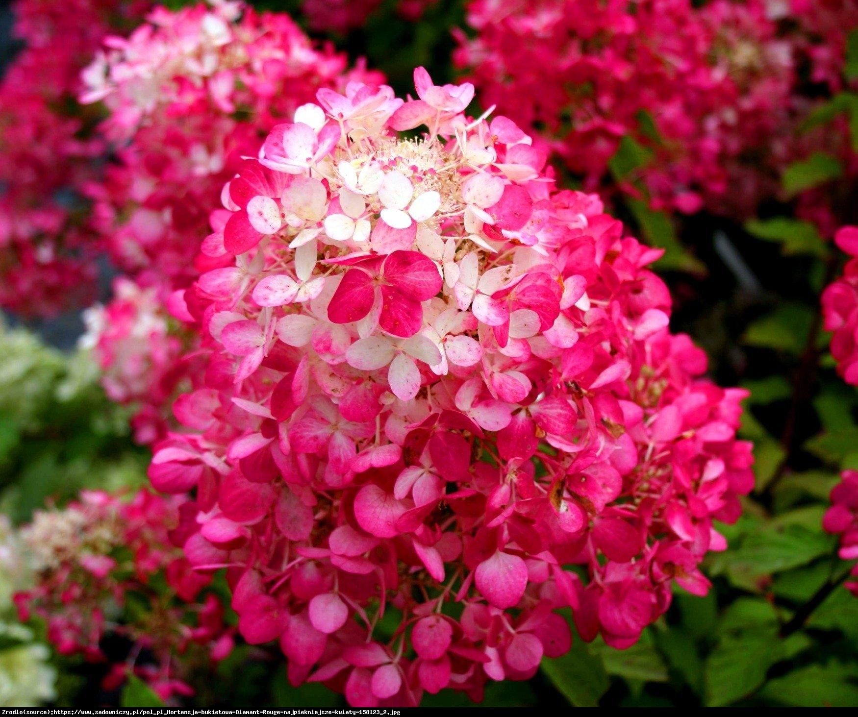 Hortensja bukietowa Diamant Rouge - Hydrangea paniculata Diamant Rouge