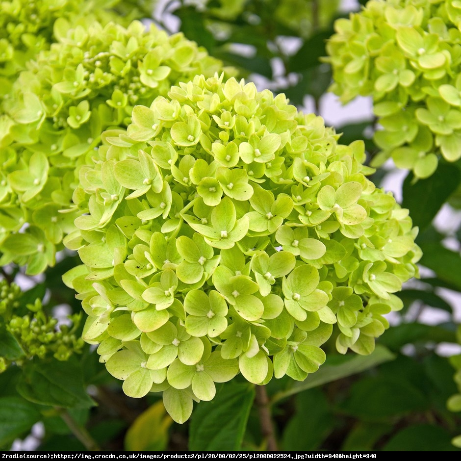 Hortensja bukietowa Little Lime  Lime - Hydrangea paniculata Little Lime  Lime