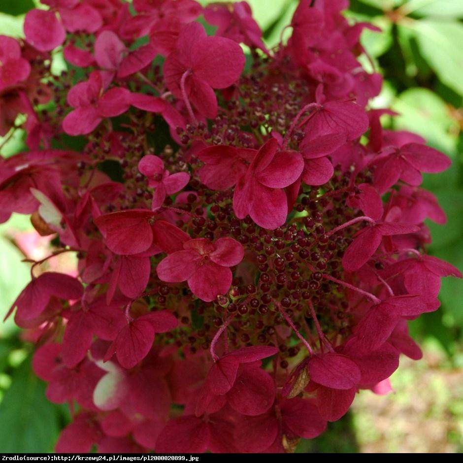 hortensja bukietowa Wims Red - Hydrangea paniculata Wim's Red