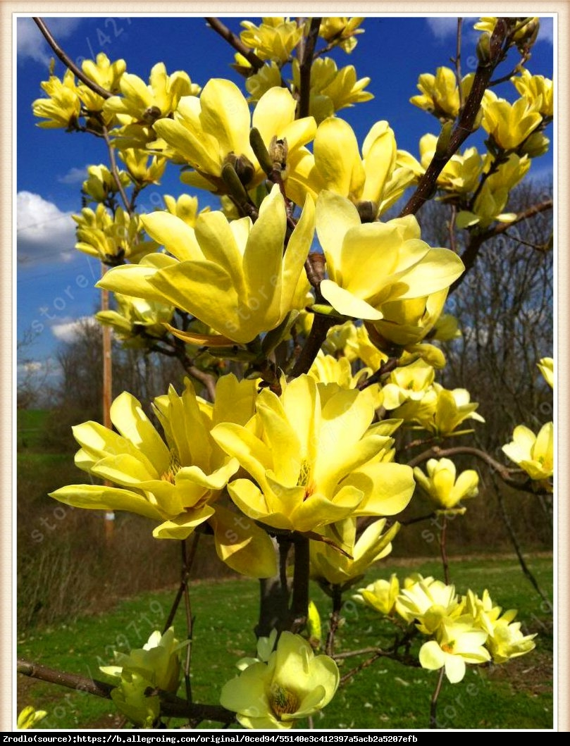 magnolia brooklińska  Yellow Bird  - Magnolia brooklynensis  Yellow Bird