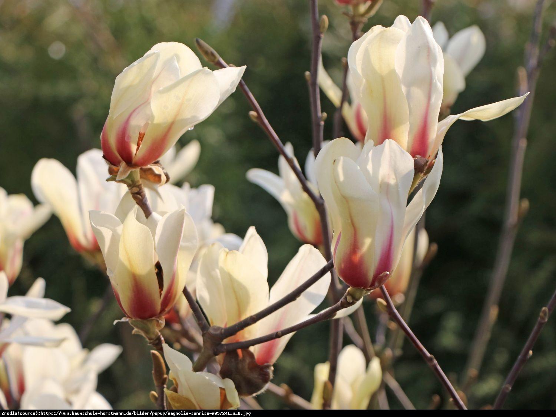 Magnolia soulangeana SUNRISE - Magnolia soulangeana SUNRISE