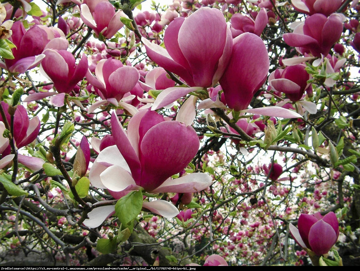 magnolia  Satisfaction  - Magnolia soulangeana  Satisfaction