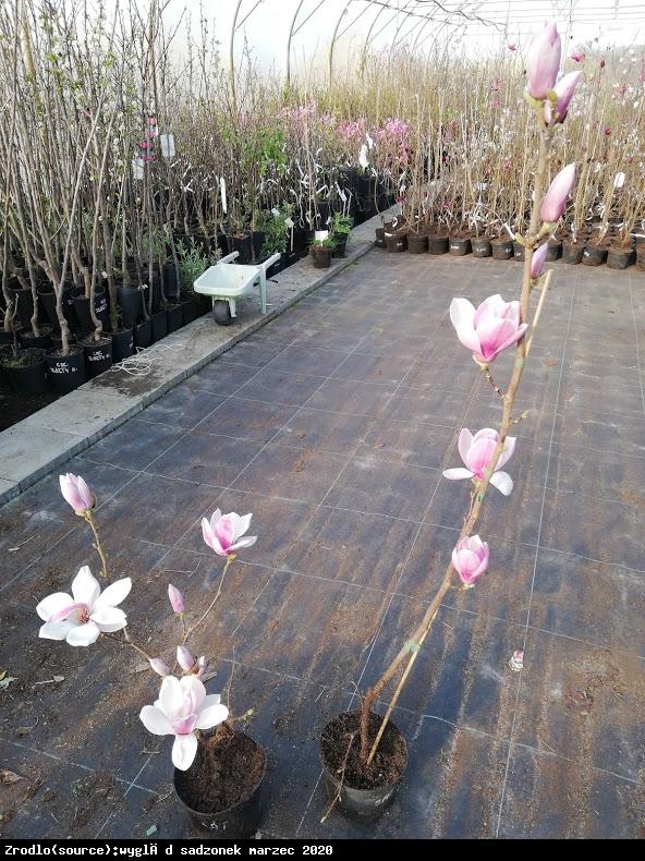 magnolia  Satisfaction  - Magnolia soulangeana  Satisfaction