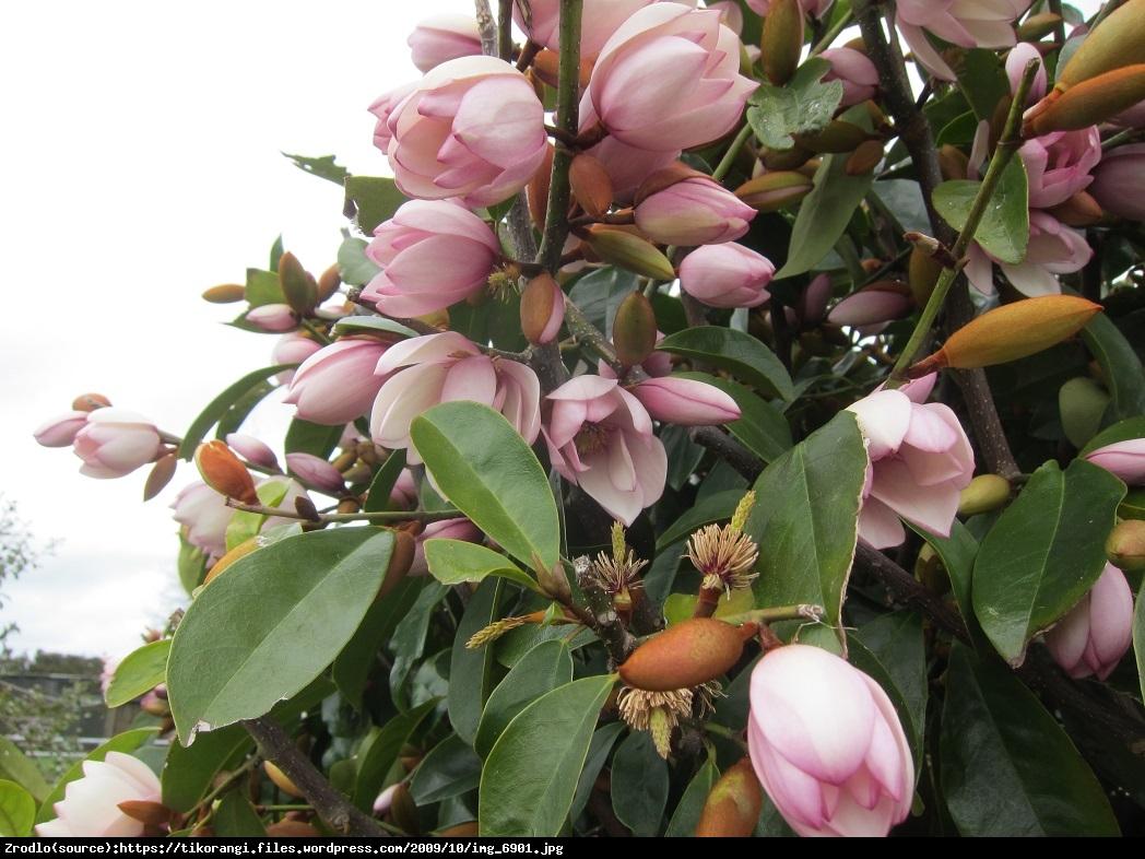 Magnolia Fairy Blush - UNIKAT, ZIMOZIELONA - Magnolia Fairy Blush