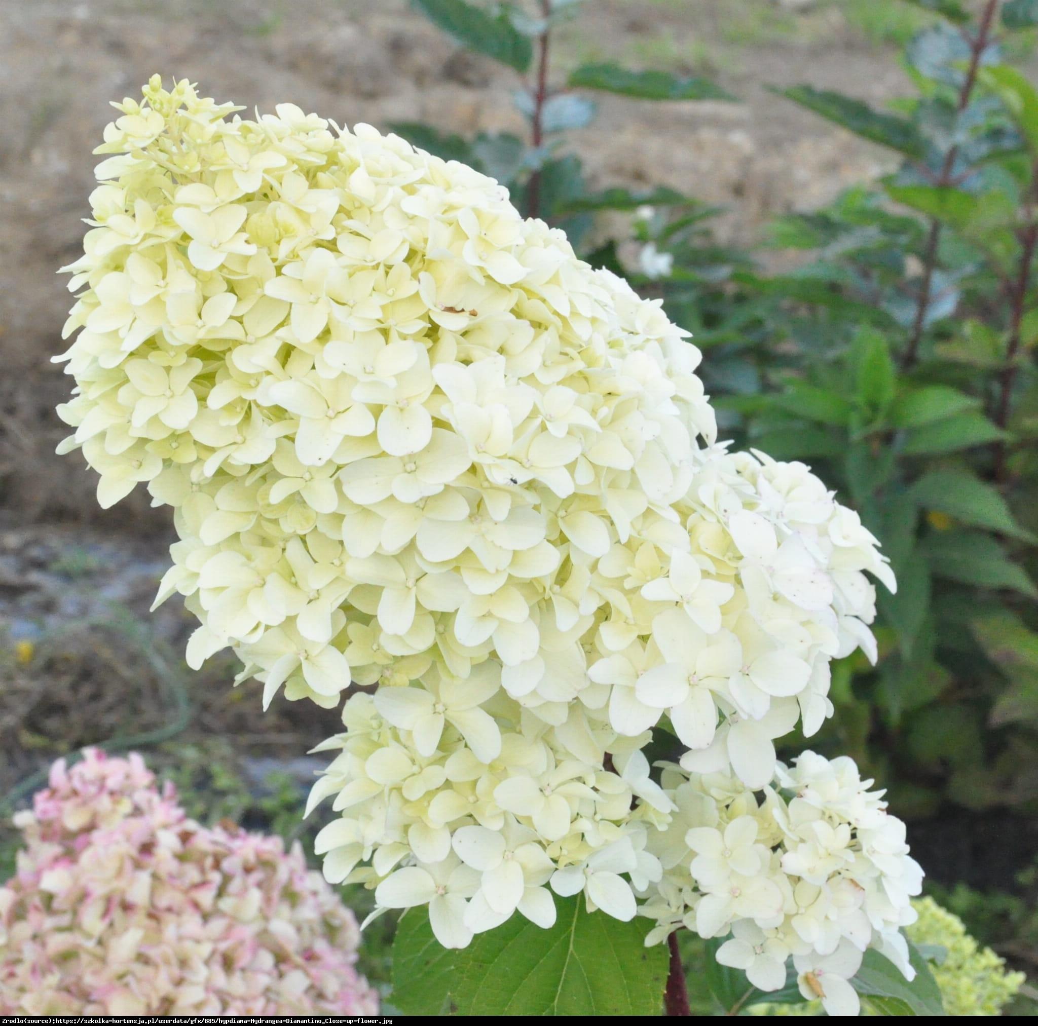 Hortensja bukietowa Diamantino - Hydrangea paniculata Diamantino
