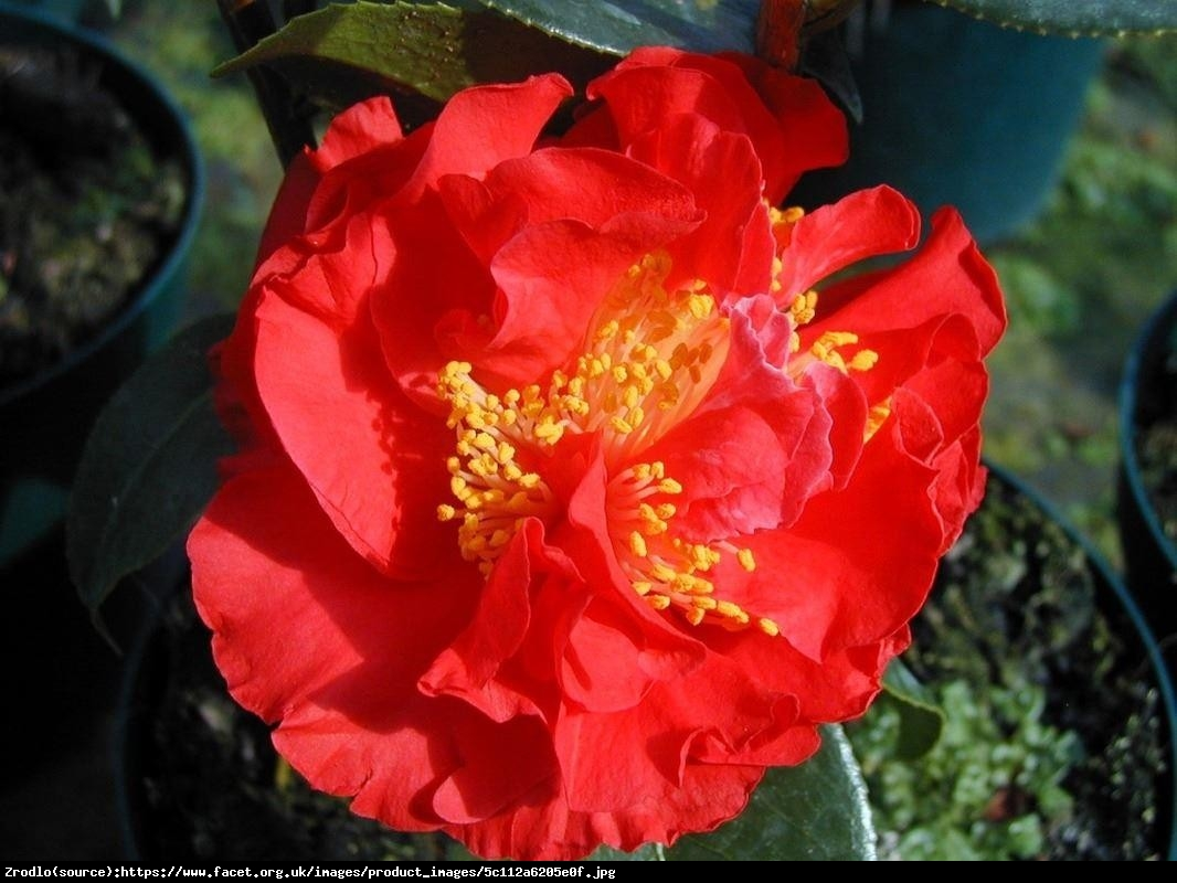 kamelia japońska  Blood of China  - Camellia japonica  Blood of China